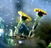 Fleurs jaunes de coltsfoot de ressort Photographie stock libre de droits
