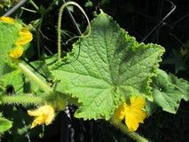 Fleurs jaunes de concombre, plan rapproché de feuille, fond foncé image libre de droits