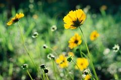 Fleurs jaunes de coreopsis Photo libre de droits