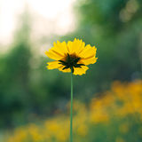 Fleurs jaunes de coreopsis Photographie stock