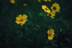 Fleurs jaunes de coreopsis Images libres de droits