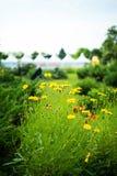 Fleurs jaunes de cosmos en parc images libres de droits