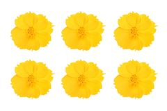 Fleurs jaunes de cosmos réglées sur le fond blanc Image stock