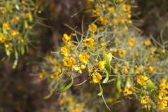 Fleurs jaunes de désert Photographie stock