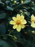 Fleurs jaunes de dahlia en fleur photos stock