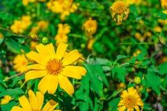 Fleurs jaunes de diversifolia de Tithonia dans un jardin Images stock