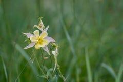 Fleurs jaunes de fleur de Columbine Photographie stock