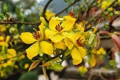 Fleurs jaunes de fleur de pêche sur un arbre avec des gouttes de pluie Photo stock