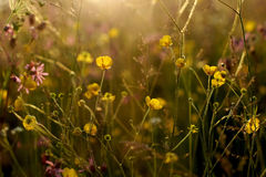 Fleurs jaunes de floraison dans le pré au jour d'été avant coucher du soleil Images libres de droits
