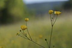 Fleurs jaunes de floraison de renoncule Photos libres de droits