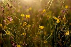 Fleurs jaunes de floraison de renoncule et x28 ; ranunculus& x29 ; dans le pré avec le foyer sélectif Photographie stock