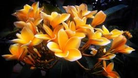Fleurs jaunes de frangipani Images libres de droits
