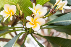 Fleurs jaunes de frangipani de plumeria Photos libres de droits