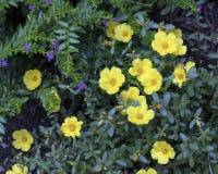 Fleurs jaunes de géranium Photo stock