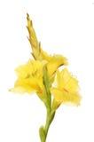 Fleurs jaunes de Gladioli photos libres de droits