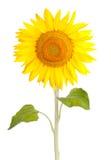 Fleurs jaunes de graines de tournesol de fleur du soleil Photographie stock libre de droits