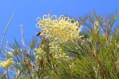 Fleurs jaunes de Grevillea avec une abeille Photographie stock libre de droits