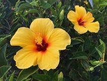 Fleurs jaunes de Hibicus dans le profil Maui, HI photographie stock libre de droits