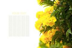 Fleurs jaunes de hydrangea Images libres de droits
