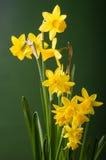 Fleurs jaunes de jonquille avec le fond vert Image libre de droits