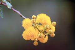 Fleurs jaunes de karroo de Vachellia de karroo d'acacia, généralement connues sous le nom d'épine douce photo libre de droits