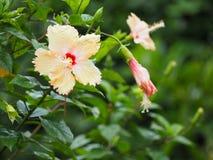Fleurs jaunes de ketmie Photographie stock