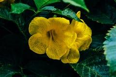 Fleurs jaunes de la vigne de trompette photographie stock