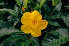Fleurs jaunes de la vigne de trompette photo libre de droits