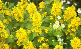 Fleurs jaunes de lin ordinaires un jour ensoleillé clair Foyer s?lectif Agriculture de floriculture photo stock