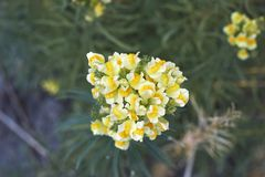 Fleurs jaunes de Linaria vulgaris photographie stock