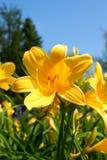 Fleurs jaunes de lis Images libres de droits
