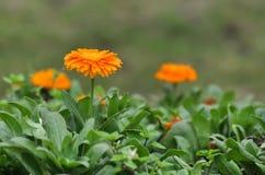 Fleurs jaunes de marguerite Image stock