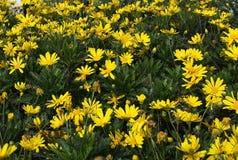 Fleurs jaunes de marguerite Photographie stock