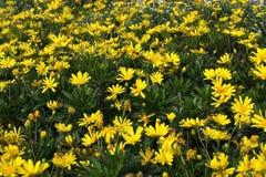 Fleurs jaunes de marguerite des prés Photographie stock