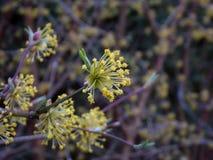 Fleurs jaunes de MAS de cornus Fleurs de buisson de cerise de cornaline pendant le premier ressort Cornouiller, cornel, fleurissa Image libre de droits