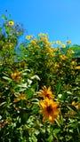 Fleurs jaunes de mon jardin image libre de droits