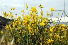Fleurs jaunes de montagne Photographie stock