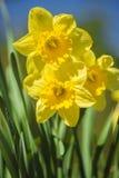 Fleurs jaunes de narcisse Photos libres de droits