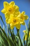 Fleurs jaunes de narcisse Image stock