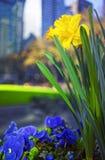 Fleurs jaunes de narcisse et de heartsease en Bryant Park Image stock