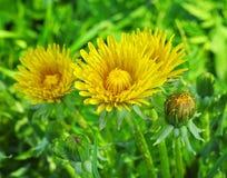 Fleurs jaunes de pissenlit Images stock