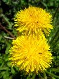 Fleurs jaunes de pissenlit Image libre de droits