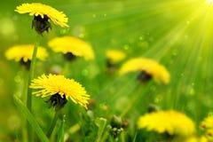 Fleurs jaunes de pissenlit photo stock