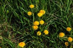 Fleurs jaunes de pissenlit Photographie stock