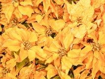 Fleurs jaunes de poinsettia Images stock