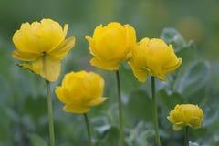 Fleurs jaunes de ressort Photos libres de droits
