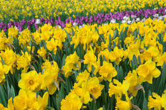 Fleurs jaunes de ressort Image libre de droits