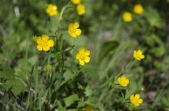 Fleurs jaunes de ressort dans l'herbe Images libres de droits
