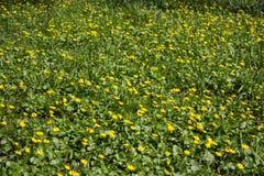 Fleurs jaunes de ressort, fleurs jaunes dans le verna de Ficaria de parc image libre de droits
