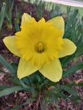 Fleurs jaunes de ressort images libres de droits